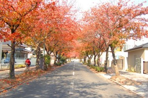桜並木秋 - コピー